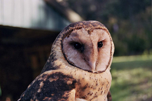 neonpyjamas:  masked owl by andrewdopheide on Flickr.