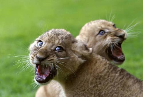 magicalnaturetour:  Two-month old African lion cubs sit on the grass after receiving vaccinations from a zoo veterinarian at the Ramat Gan Safari near Tel Aviv July 25, 2010.(Xinhua/Reuters Photo) ~ They must not like shots either :)