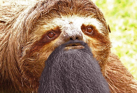 ever seen a black bearded sloth before?