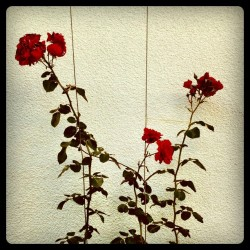 pretty! mwmax:  #flowers #rose #garden (Taken with Instagram at am Bach)
