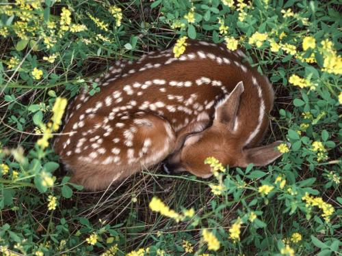 llbwwb:  Fawn safely hidden by Kev
