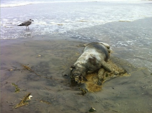 Hurricane Irene washes another Montauk monster ashore in Long Island Okay, one could be explained. Two was getting a little weird. But a third Montauk monster washing ashore in Long Island, thanks to Hurricane Irene… now we're getting into actual cryptozoology territory here. Three giant, bloated, naked dead raccoons? Via