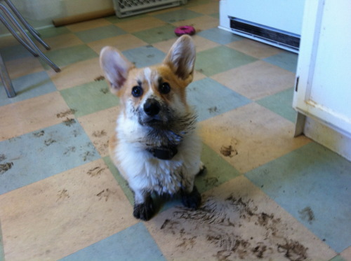 corgiaddict:  Rufus aka Señor Muddypuppy submitted by Duane  OH I AM SO BUSTED