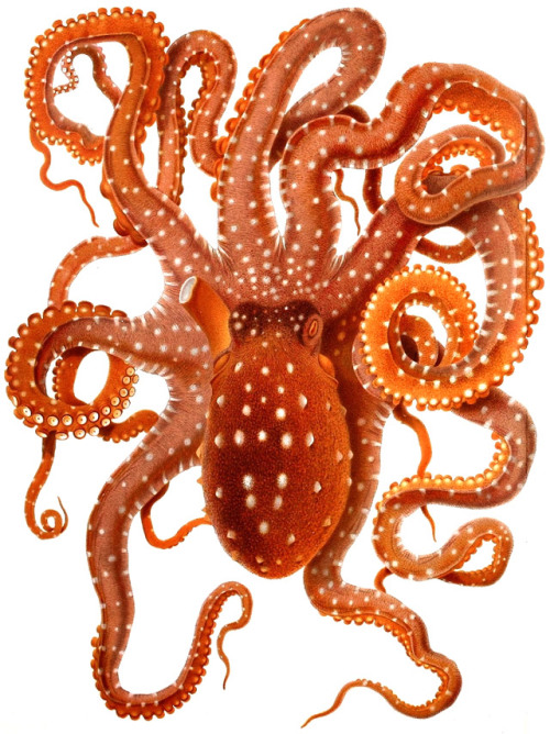 lacarpa:  Vintage Octopus-Illustrations Adolf Naef
