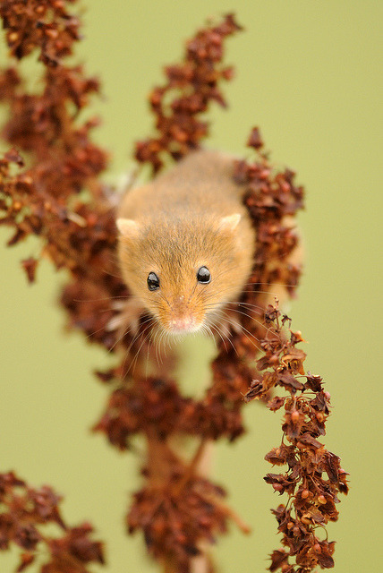 human-tendencies:  Harvest mouse [Explored] by amylewis.lincs on Flickr.