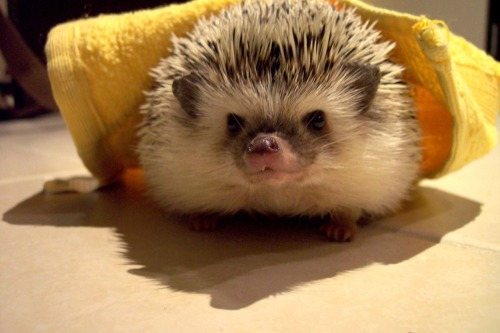julietearth:  Hedgie time!