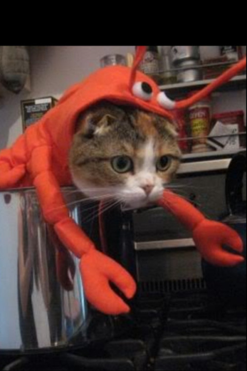 Here is a picture of a cat, dressed in a lobster suit, in a pot on the stove. You're welcome.