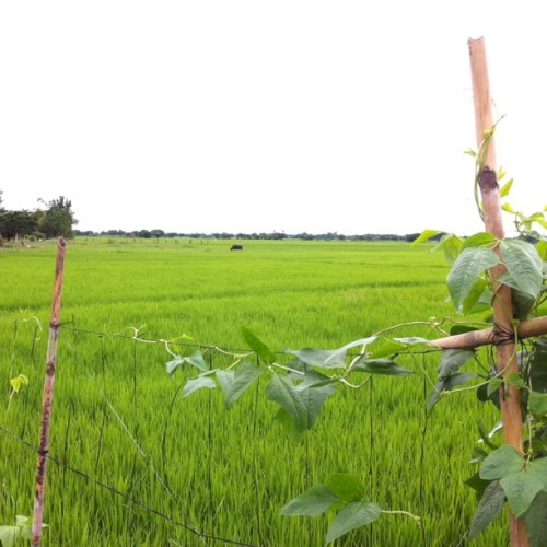 This ricefield in Aliaga, Nueva Ecija, will disappear if the Central Luzon Expressway project will push through. The express will connect with the SCTEX. Nine villages will be affected by the project, which farmers say will displace thousands.  (Taken with instagram)