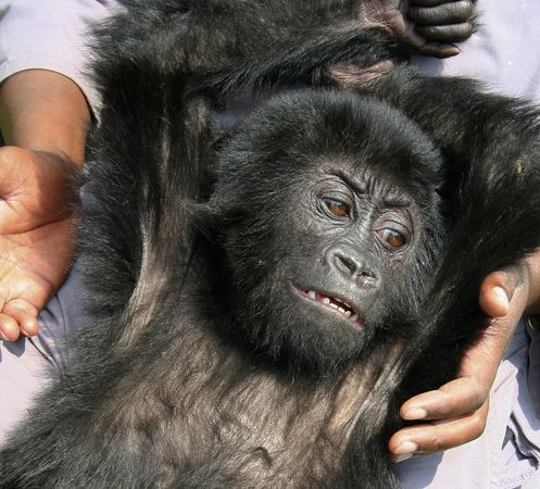 "Baby gorilla rescued from poachers! Also: OMG BABY GORILLA. So cute. So eerily human with her expressive face. I love you baby gorilla! Her rescuers named her Ihirwe, which means Luck in the Rwandan language  Kinyarwanda. I will call her Lil' Lucky from now on. Oh boy, that could be her DJ name! DJ Lil' Lucky on the ones and twos! Though DJ Baby Gorilla is good too. Wow, that's really good actually. One of you has my permission to take DJ Baby Gorilla as your DJ name. First come, first serve. It's likely she was taken from  the Bukima area of the Democratic Republic of the Congo (DRC) park. This little girl was rescued by Rwandan police after poachers stole her, presumably for the international pet trade. Nobody knows if her family was killed when the poachers kidnapped her or any of the circumstances surrounding how they got her. But she's eight months old, adorbs and safe. I'm not sure what her future holds but for now she is in the care of the Mountain Gorilla Veterinary Project. Mountain gorillas are critically endangered and according to a census by the International Gorilla Conservation Program, there are only 786 remaining in the mountains of DRC, Rwanda and Uganda. That's like a medium-sized high-school. Fucking A. However, if you remember as I've written before, this is a dramatic increase from previous years. Let's hope that continues. Also, screw whoever buys kidnapped baby gorillas from poachers! Who does that? Somebody is just like, ""yeah, I totes need a gorilla"" and calls their friendly neighborhood poacher? WTF."