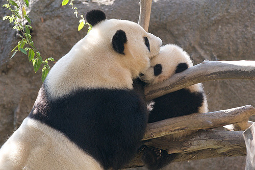 fuckyeahgiantpanda:  Bai Yun and her son Yun Zi at the San Diego Zoo on February 13, 2010. © Rita Petita.