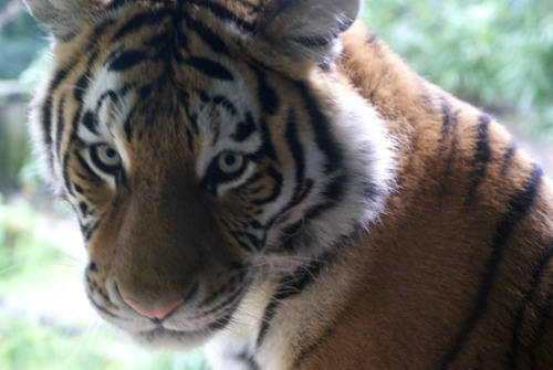 Kira, most beautiful tigress, a bit out of focus because the glass was smudgy but still ♥ She and Ilya were lounging beautifully together.