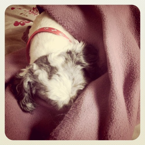 It's a cold morning. Can I please stay in bed a little longer?  #dog #blanket #cold #pets #dailyphoto #iphoneonly #iphoneography #iphonography (Taken with instagram)