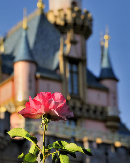 definitelydisney:  Disney- Disneyland Rose, (by Express Monorail) i LOVE THIS<3