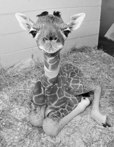 I think giraffes are freaking adorable