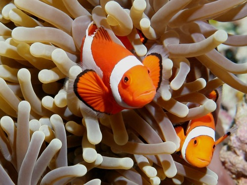 ohscience:  All clownfish are born male. When they become adults, the largest, most dominant fish becomes a female, and the second largest becomes the breeding male. If the breeding female disappears, the breeding male (now the largest of the group) will become a female, and so on. In other species of tropical fish, when the ratio between males and females becomes imbalanced, dominant females may become males.