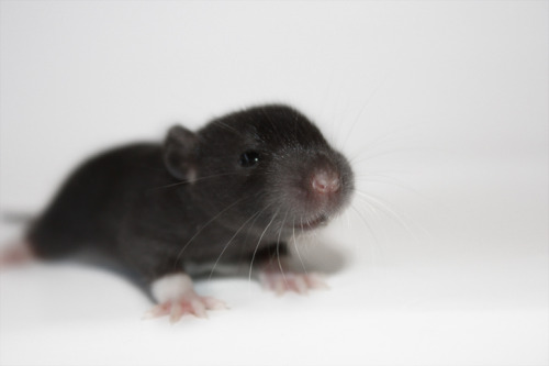 effyeahrats:  A two weeks old female, from my last litter