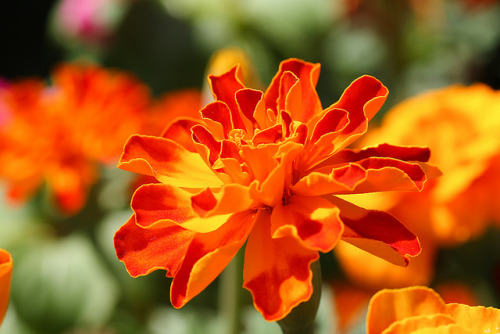 lisafs:  Orange French Marigold by Gshoemake on Flickr.