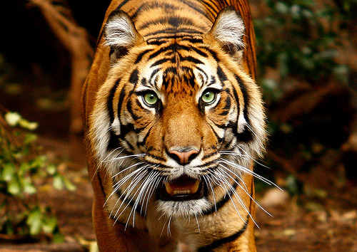 archeop:  Tiger (by \Hayley//)