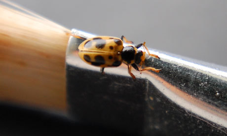 "A rare species of ladybird has been rediscovered breeding in the UK for the first time in nearly 60 years. The breeding population of 13-spot ladybirds were found in the Axe Estuary Wetlands in Devon by a student. Sporadic sightings have been recorded since 1952, but not of the species breeding. ""As soon as I saw the larva I was fairly sure it was a 13-spot – it's something I've dreamt of finding,"" said Richard Comont, the PhD student who made the discovery. The insect was found during a ""Bioblitz"" event,where the public works with scientists to record all the insect species in an area. James Chubb, education ranger for East Devon district council, said: ""With the experts we had on the day I knew that we would find loads of really interesting and unusual creatures, but never for a second did I think we'd make a discovery of this magnitude."" The 13-spot ladybird lives in wetlands and is believed to have re-colonised Britain from the Channel Islands or France. ""It is a rare bit of good news for British ladybirds,"" said Comont. A census published in June showed one fifth of native British species of ladybird were declining due to competition from invasive species such as the Asian harlequin ladybird, which is larger and breeds faster."