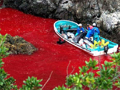 Today, September 1st, marks the start Taiji's annual dolphin slaughter. It'll be a awesome year when this horrible slaughter is finally ended. I do hope everyone has a great time at all the Save Japan Dolphin Day events where ever you happen to be. Speak loud and strong! Remember that today is for the dolphins. We are their voices. x Christina  To find out more information on the annual dolphin drive visit Save Japan Dolphins FAQ page.