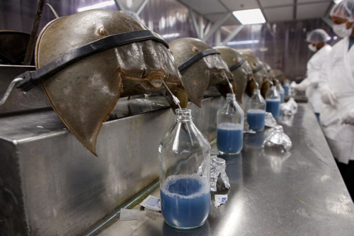 "from National Geographic: ""In South Carolina, horseshoe crabs are gathered for their unique  bacteria-detecting blood. About 20 percent of each crab's blood is  collected before it's returned to the water."" More details of the what/where/why at Wired UK."