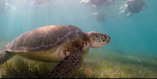 A green turtle in Akumal, Mexico. He looks a little leery, no?