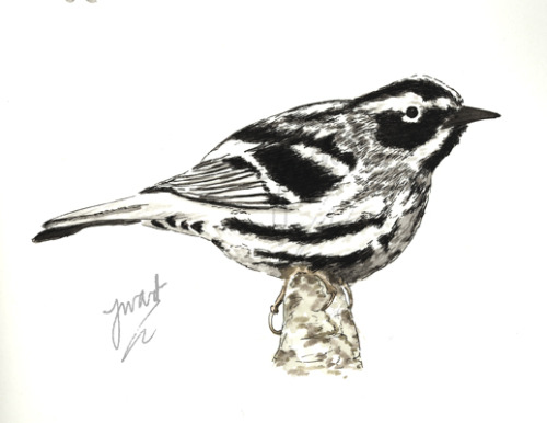 joewardillustration:  Black and White Warbler, 2011. Nothing to say really… (Copyright is mine.)