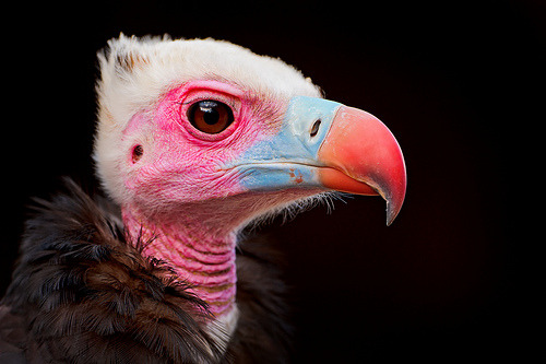 lavoisier:  Portrait of a colorful vulture (di Tambako the Jaguar)