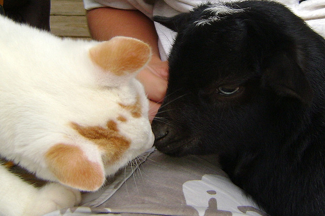 """Okay, just one more kiss, little goat…"" Photo by ©harbinsfarm"