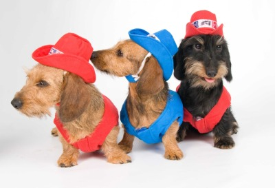 starzlou submitted:  three happy wire haired doxies ready to go to a rodeo  Oh. my goodness. Too good.