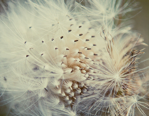 robot-heart:  Thistle Gone to Seed (by ♥leah.morgan)