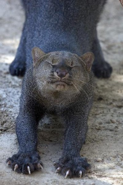 rhamphotheca:  EFBC's Feline Conservation Center:  Aztec the Jaguarundi Aztec the Jaguarundi doing a yoga stretch. Jaguarundis are still  occasionally sighted in the southernmost United States, but are often  mistaken for otters or a member of the weasel family (although they are obviously a wild cat species, upon close inspection). (photo/text via: EFBC)