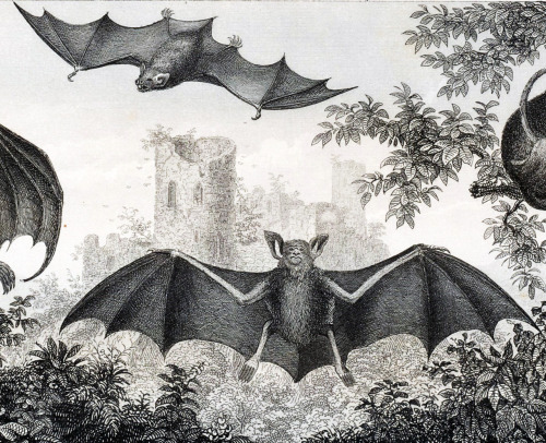 vintagegal:  Bat engravings 1800's