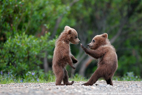 ericiam:  coffeenuts:  bear-cubs by Ron Niebrugge on Flickr.  Grizzlies on parade…Cute now… Rip your face off in a year..