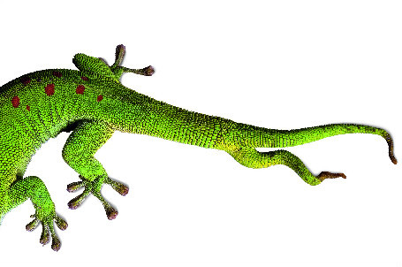 The regeneration process went slightly awry for this day gecko, which lost its tail—and grew back two. (via: National Geo)     (Photo: Joel Sartore)