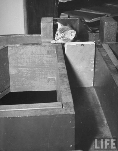"Nina Leen, 1941: ""Kitten making its way through a maze during psychology testing at Brooklyn College."" Source: LIFE Photo Archive, hosted by Google. Like this little guy? Me too. There's more here."