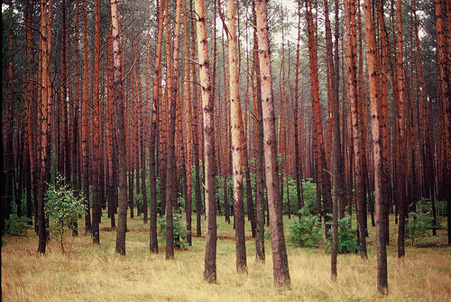 curitas:  Polish forest (by erik.drost)