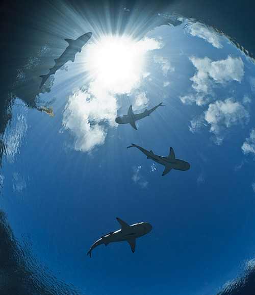 oceansoftheworld:  (Photo by Autopsea) black tip reef sharks (see this previous post)