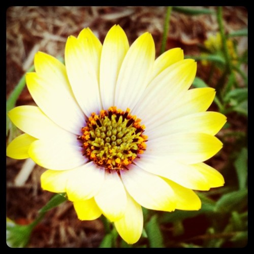 Friendly Daisy. #flower #daisy #friendly #photooftheday #nature (Taken with instagram)
