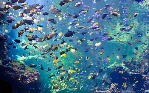 harmoniam:  Steinhart Aquarium's Philippine Coral Reef (by julesnene)