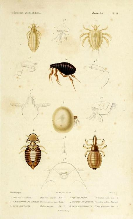 "biomedicalephemera:  Exoparasitic arthropoda: 1. Pediculus capitis - Head louse 2. Pediculus pubis - Pubic louse 3. Haematopinus suis - Pig louse 4. Gonoides stylifer - Poultry louse 5. Pulex irritans - ""Human Flea"" [misnomer - very wide range of hosts] 6. Pulex penetrans - Chigoe Flea/Jigger Flea (also known as a ""jigger"" - not to be confused with ""chiggers"", which are small red mites) Le Regne Animal Distribue d'Apres son Organisation, pour Servir de Base a l'Histoire Naturelle des Animaux. Georges Cuvier, 1838."