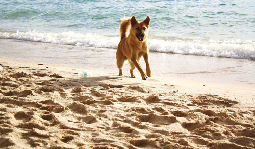 jenniecowell:  Dog on beach