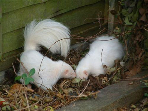 they're sooooooooo cuuuuuuuuuuute deformutilation:  Albino skunks