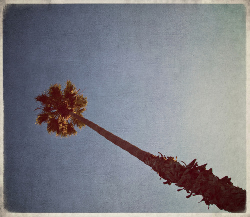Santa Barbara Palm Tree … Vintage style … Memories ….