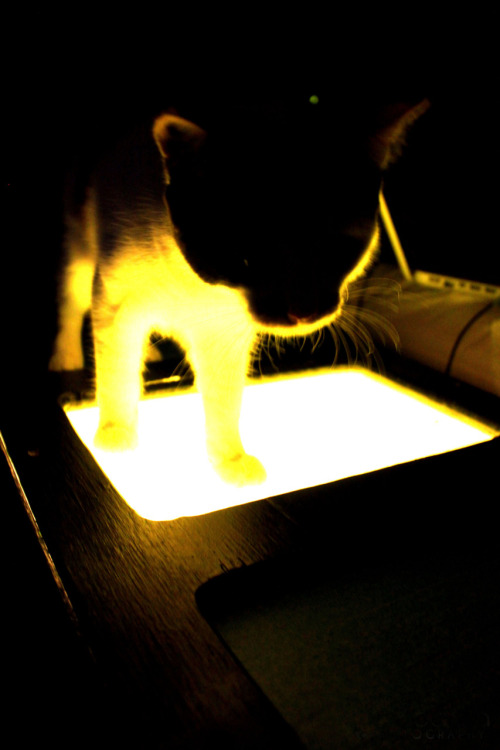 gradyichooseyou:  Tiger Lily having fun with the light box hahaha This cat is my little biff