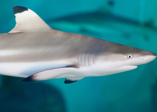 anoceanactivist:  Blacktip Reef Shark (by San Diego Shooter)  haha you're the best <3
