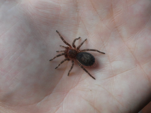 blood-h0und:  I saw a spider like this at the pet shop and i died it was to cute.