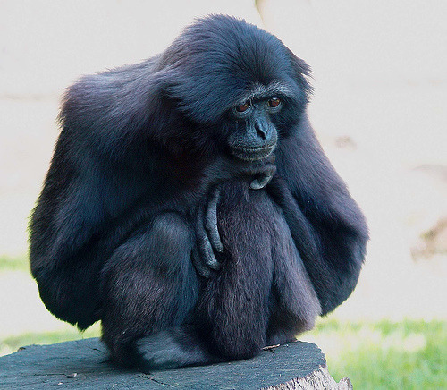 tripudios:  Gibbon Deep in thought (by saxonfenken) Sad gibbon is sad :(   Aww