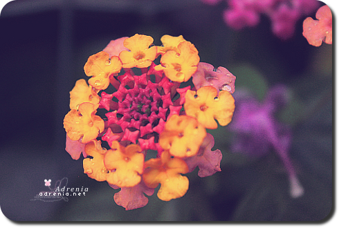 adrenialove:  Just a photograph of one of my flowers from my backyard. ♥ It's at the end of the growing season and now it's time for the harvest season. My family has already harvested most of our early summer vegetables like the green string beans, ampalaya (bitter melon), a couple of our eggplants, and these leaves which I forget the name of at the moment. We still have a lot that's still growing and will grow for the next few weeks before we harvest them all for the upcoming season. :)  Our flowers have already started to wither and die, some however like this beautiful butterfly bush is still thriving. I'm going to harvest and dry some of the flowers growing as well as some herbs such as our tremendous amount of mint & basil.