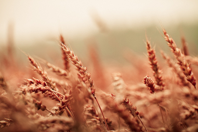 Wheatfield by miiiks on Flickr.